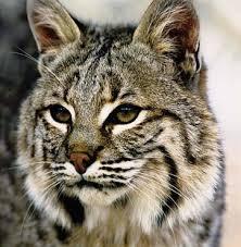 Bobcats Pic1