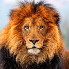 Lions Actual