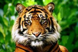 Tigers Pic2